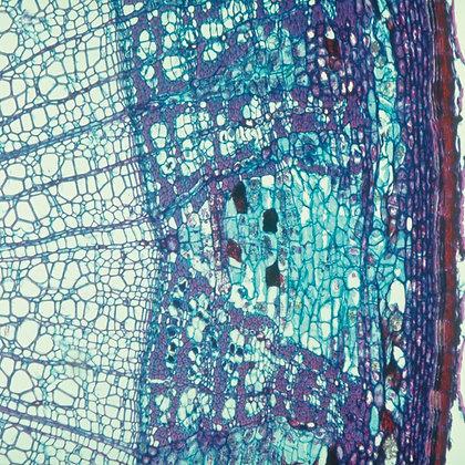 Cork Cells, c.s., 12 µm Microscope Slide
