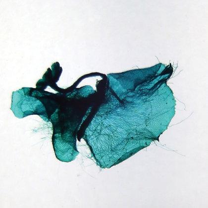 Fern Young Sporophyte, w.m. Microscope Slide