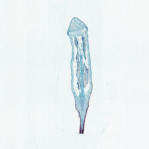 Moss Capsule, l.s, 12 µm Microscope Slide