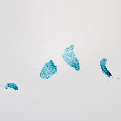 Fern Prothallium, Filamentous, w.m. Microscope Slide