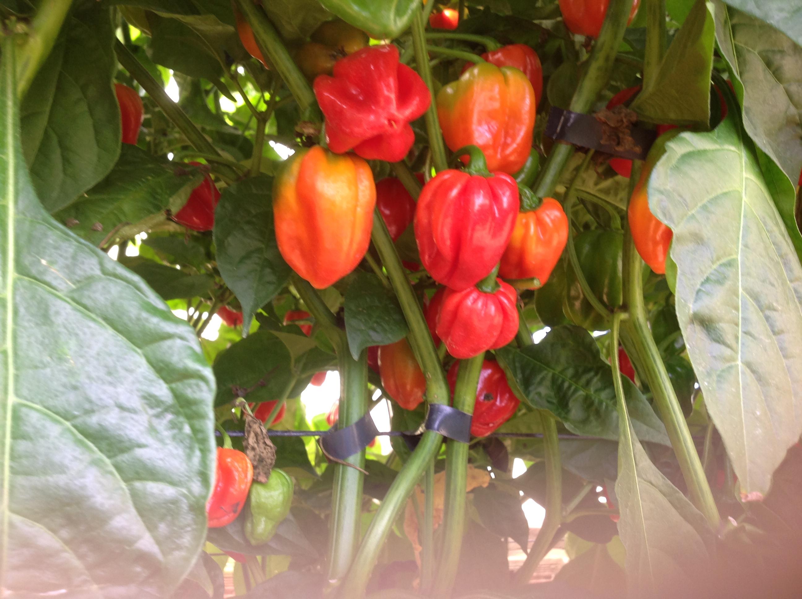 Pimenta Habanero Vermelha