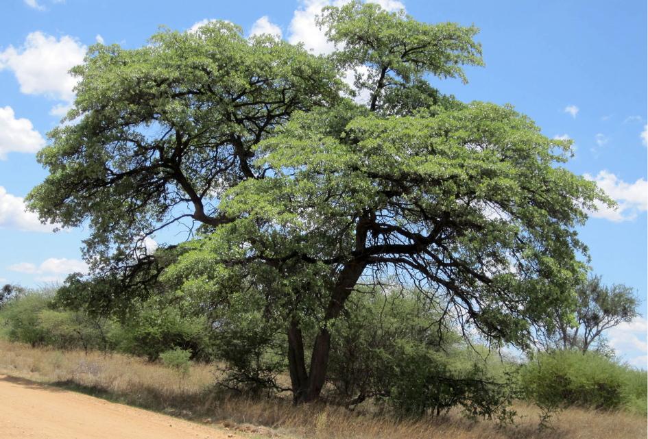 Desert Tree Namibia