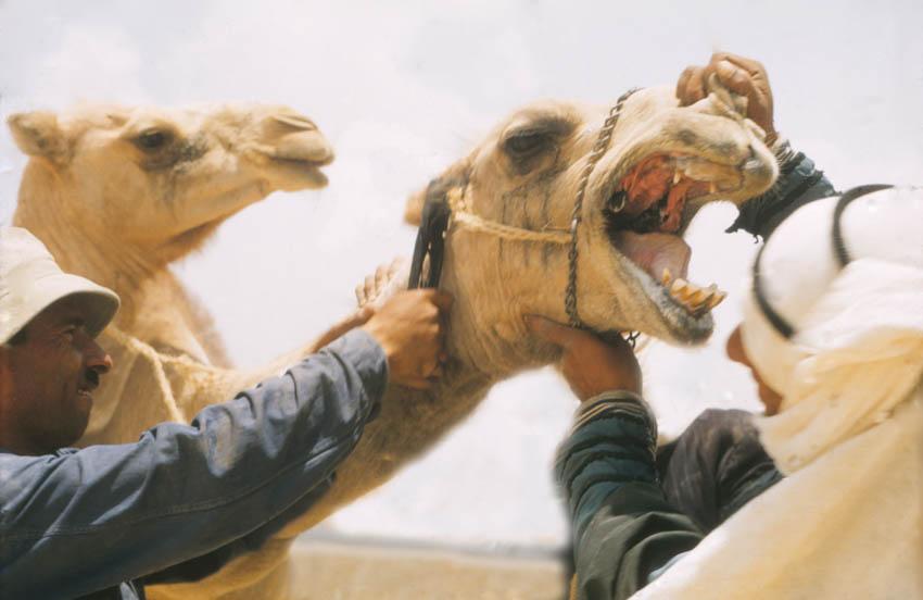 Camel Teeth