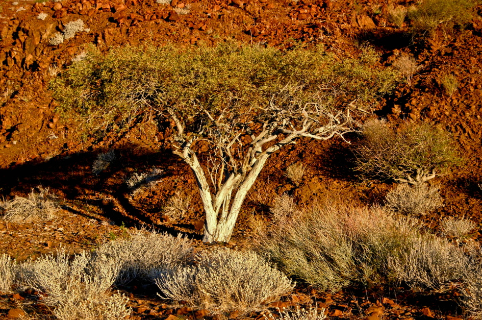 Accacia at Damaraland Camp #2