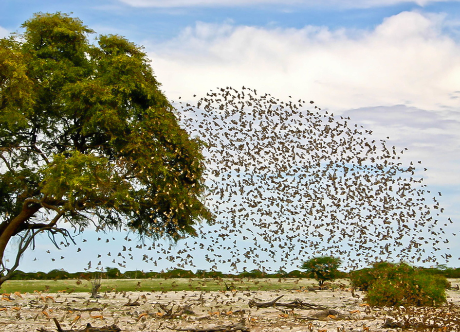 Bird Formation at Etosha