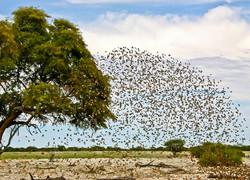 Bird Formation at Etosha