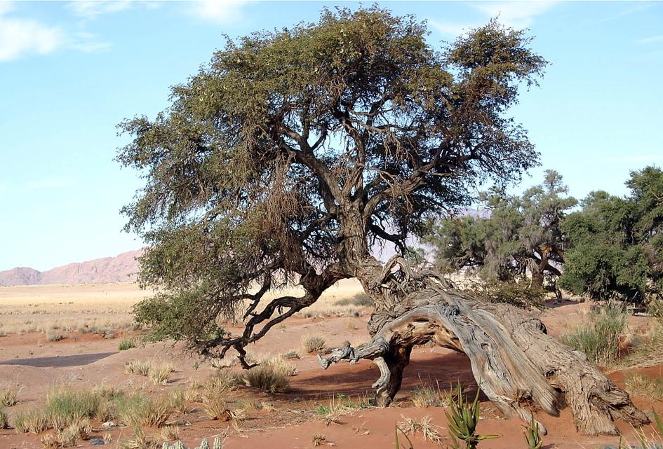 Recumbent Tree