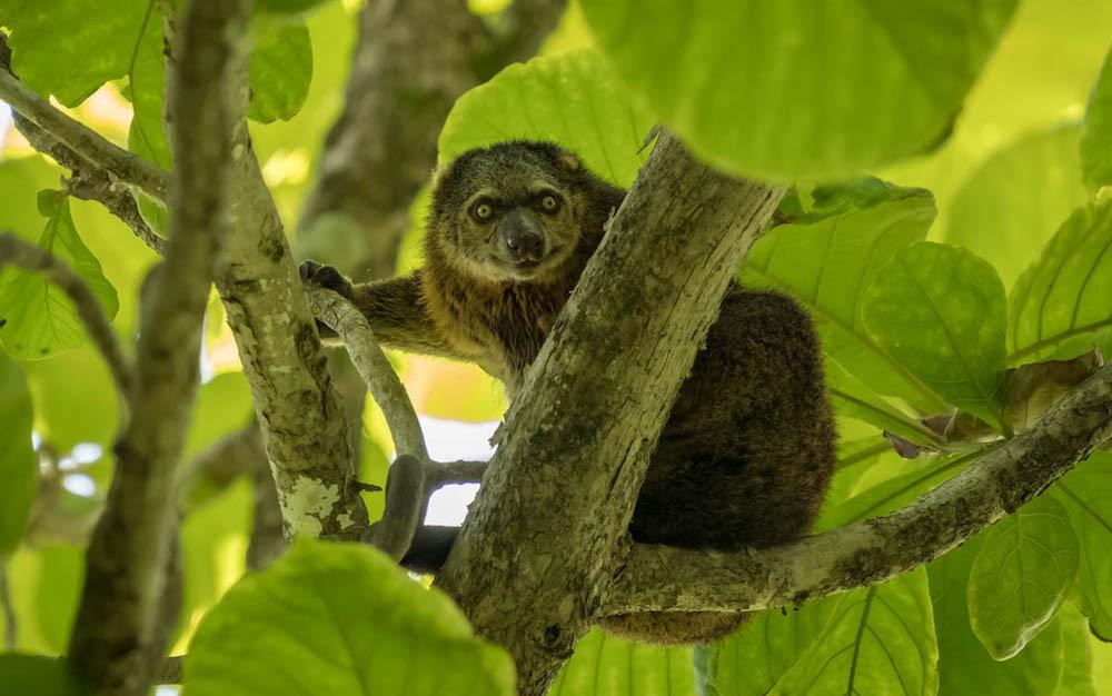 Bear cuscus Sulawesi