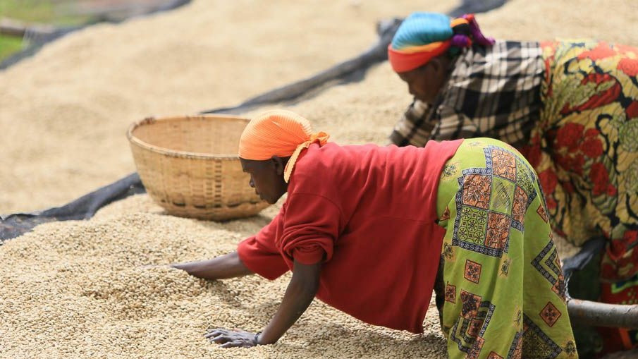 Coffee workers spreading our coffee beans to dry