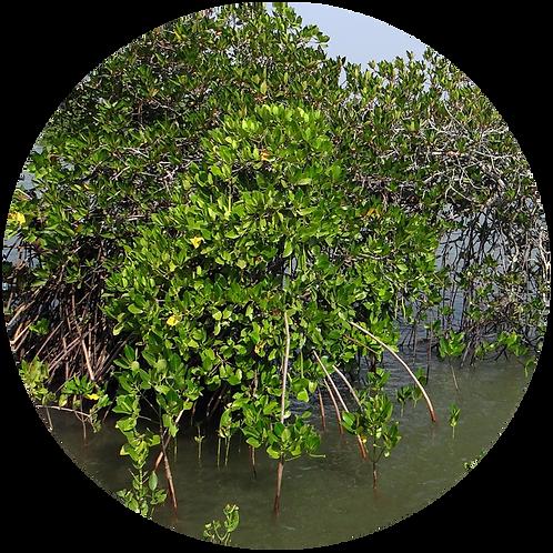 Mangrove Tree in Philippines + 25 years of Treebuddycare.