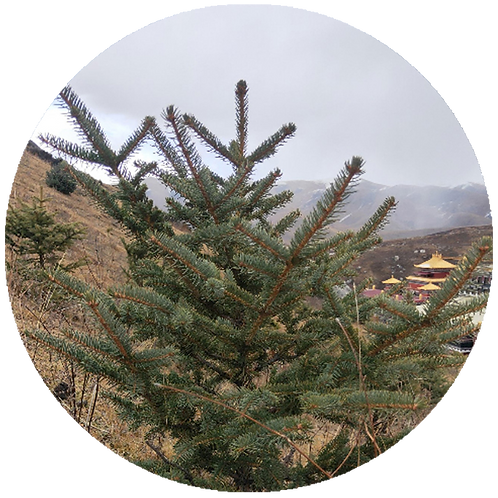 A Tibetan Christmas Tree planted in Himalayas        + 5 years of Treebuddycare
