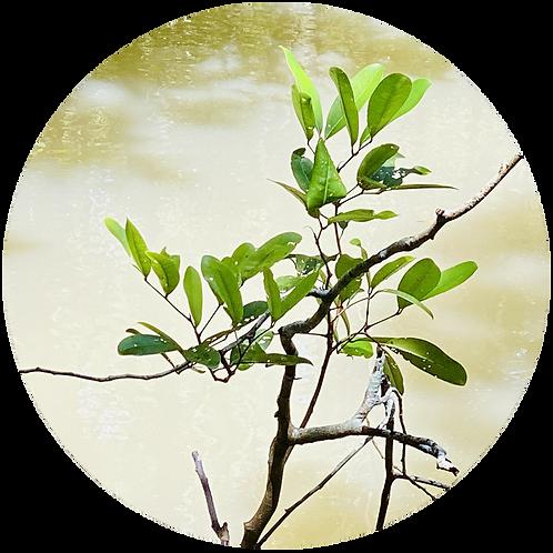 Mangrove Tree in Philippines + 5 years of Treebuddycare.