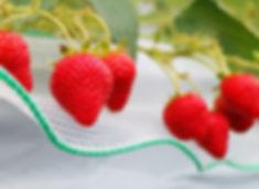 栽培中のイチゴ