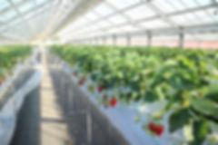 温室内のイチゴ