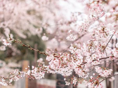 Enjoy Sakura! (with less people)
