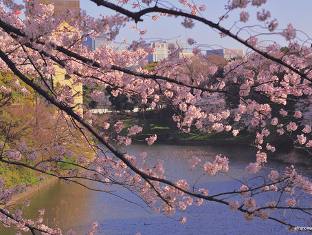 Sakura Season: Where to go? | Tokyo