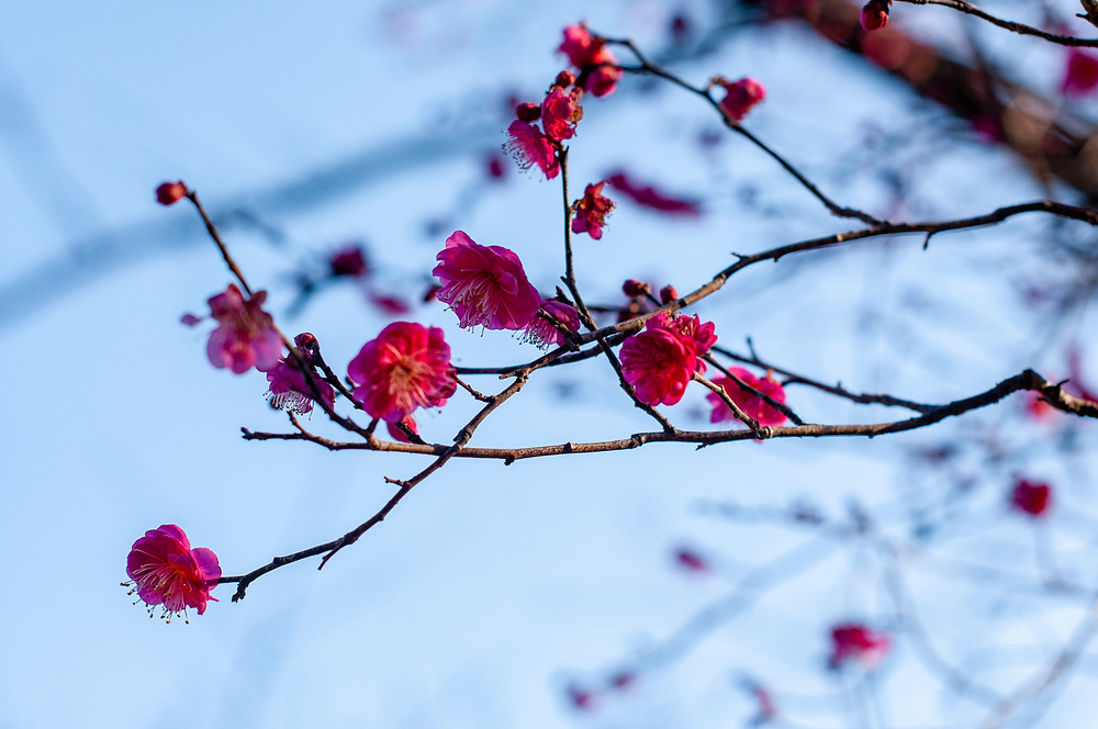 Plum blossoms starting to bud in the garden