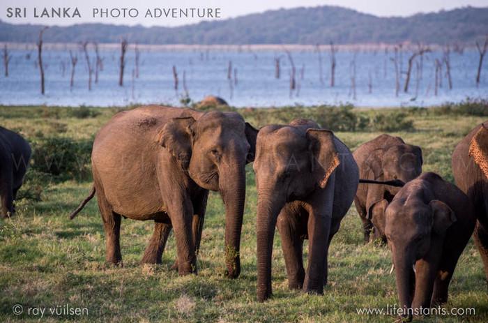 Photography Adventure Travel Sri Lanka Elephants
