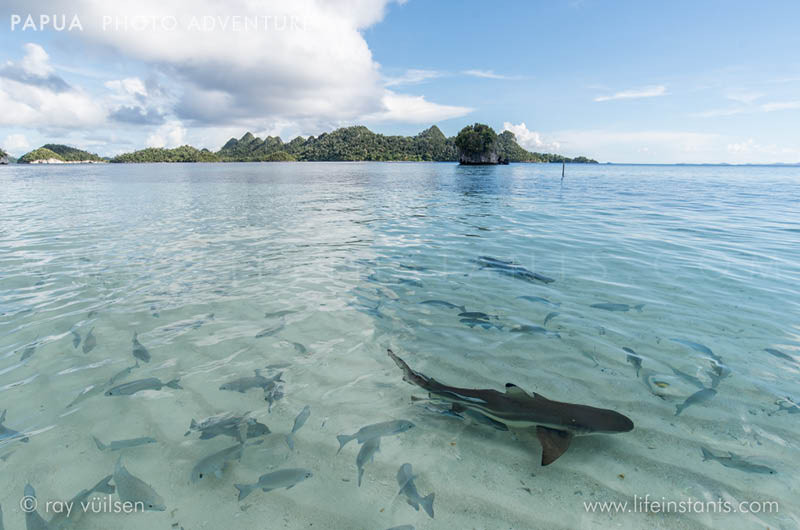 Photography Adventure Travel Papua Shark