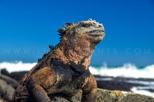 Life Instants Photography Adventure Travel Print Galapagos Iguana