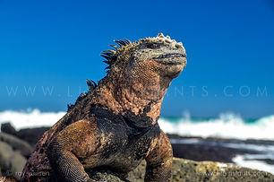 Life Instants Photography Adventure Travel Print Galapagos Iguana