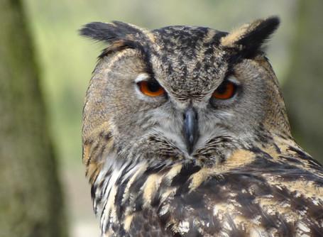 Owls & Fowls