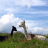 Flora and Jill the alpacas lying in the long grass