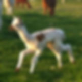 Heidi the cria running in the field