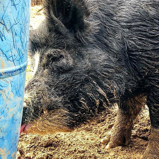 Heritage pigs are important to the small