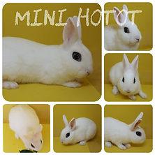 Mini Hotot.jpeg