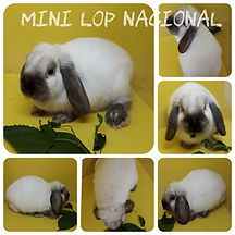 Mini Lop Nacional.jpeg