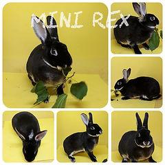 Mini Rex.jpeg