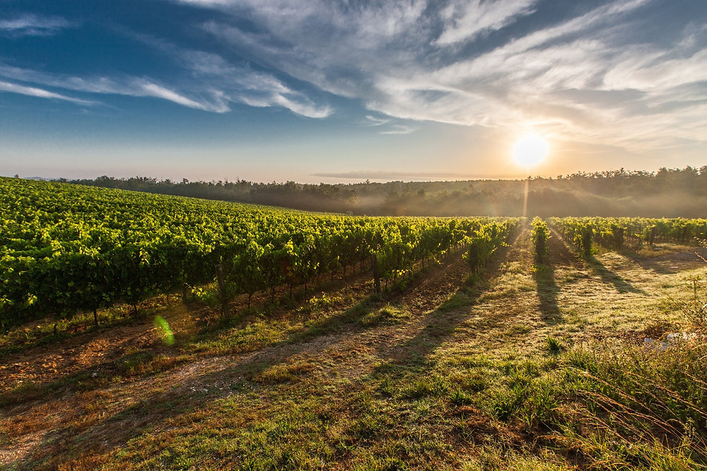 Tuscany vineyard at sunset