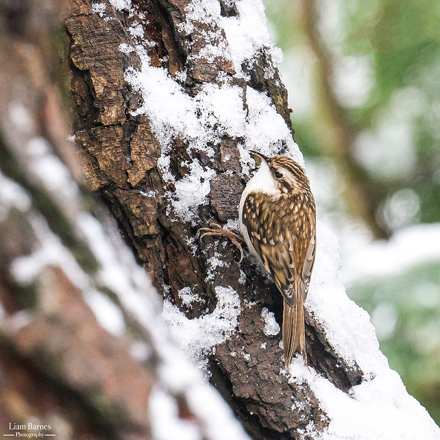 Wintertime Treecreeper.jpg