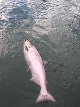 kenai king salmon release