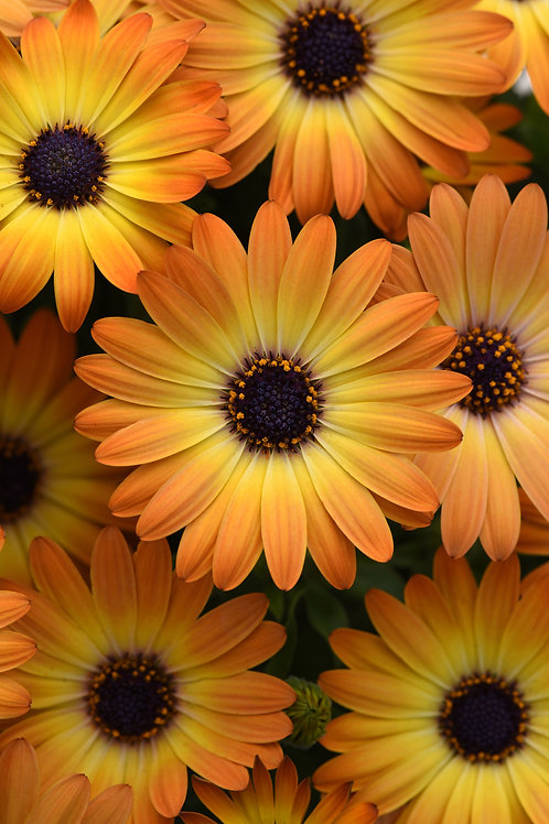 Osteospermum - Sunshine Beauty