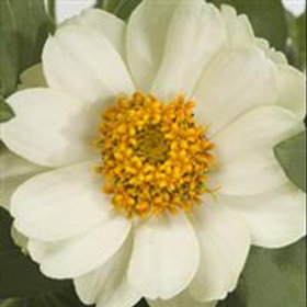 Zinnia Double Profusion White
