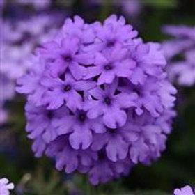 Verbena - Endurascape Blue