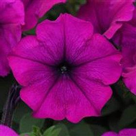 Easy Wave Petunia Violet