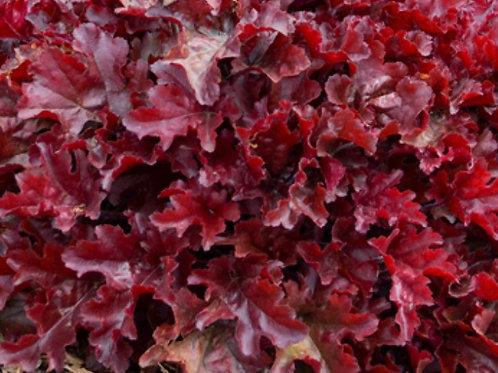 Heuchera Dolce Cherry Truffles PW