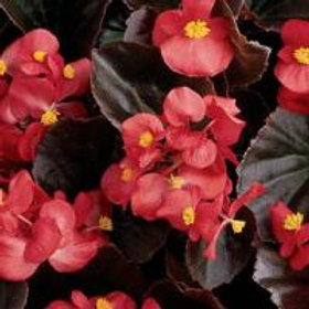 Begonia Harmony (Red) Scarlet