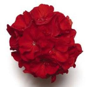 Fantasia Zonal Cardinal Red Geranium