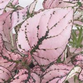 Hypoestes Mix (pink and white)