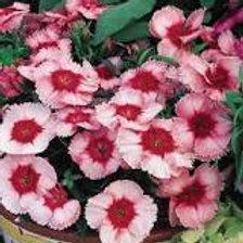 Dianthus Strawberry Parfait