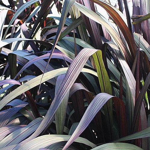 Vertigo® Purple Fountain Grass Pennisetum purpur