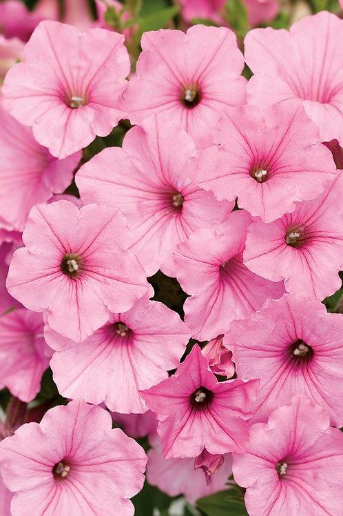 Petunia  'Supertunia® Vista Bubblegum'