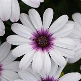 Serenity Lavender Frost Osteospermum