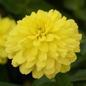 Zinnia Double Yellow Zahara
