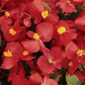 Prelude Scarlet Begonia