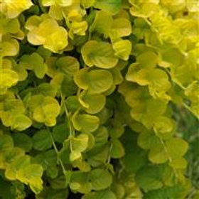 Lysimachia Goldilocks
